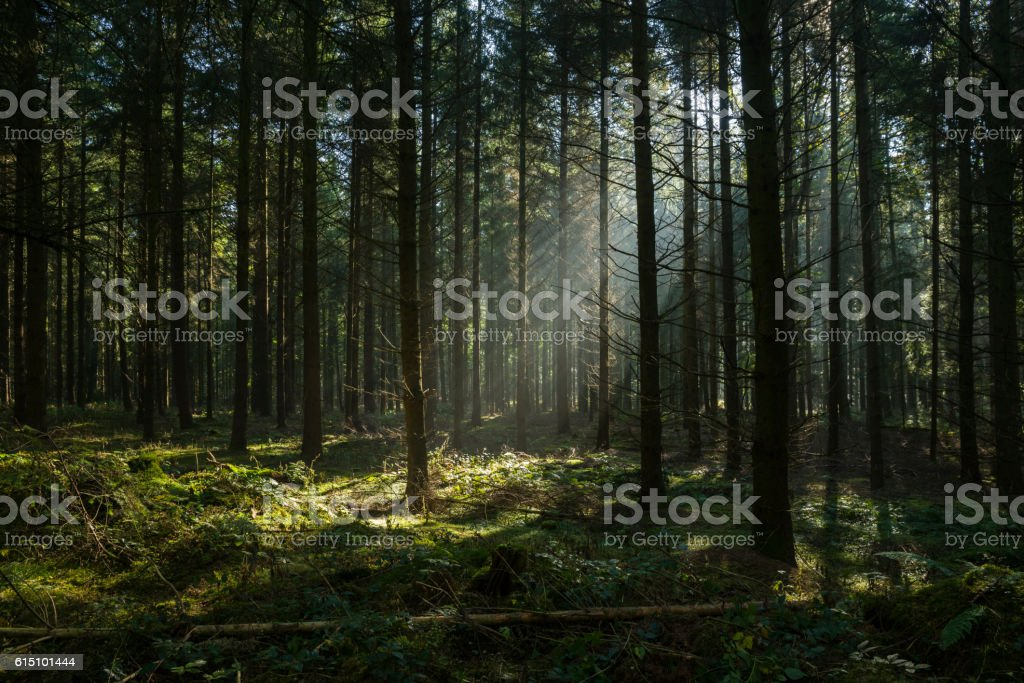 Sunbeams in dark and foggy autumn forest ストックフォト