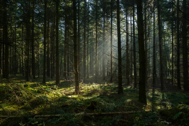 sunbeams in dark and foggy autumn forest - woud stockfoto's en -beelden