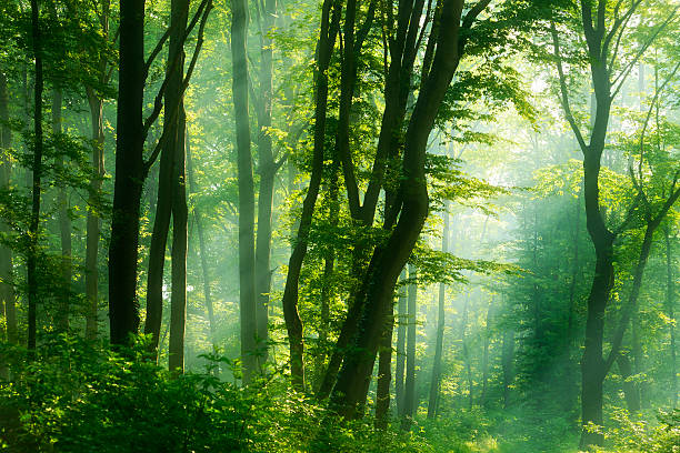 Sunbeams in Dense Natural Forest of Deciduous Trees at Dawn stock photo