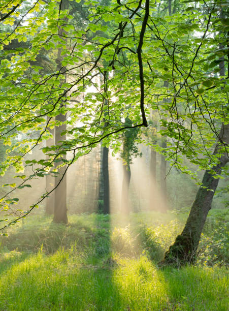 Sunbeams of morning sun in forest in fog stock photo
