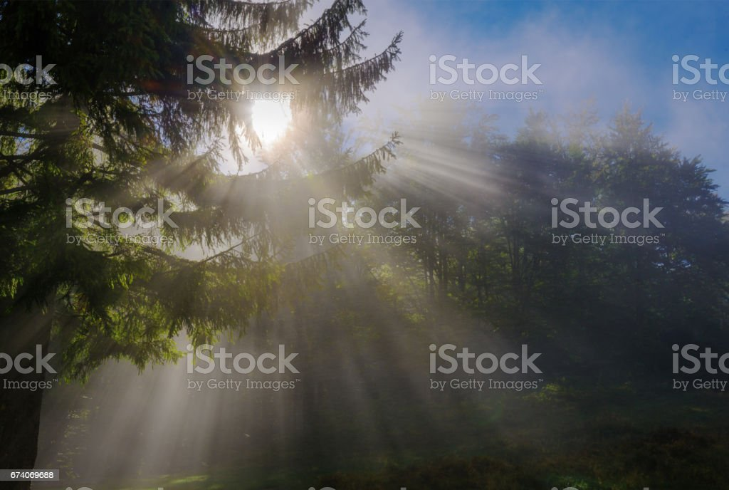 Sunbeams penetrating morning mist in forest royalty-free stock photo