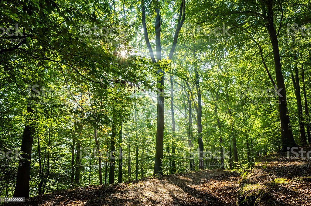 Sunbeams rays of light shining through green foliage into forest stock photo