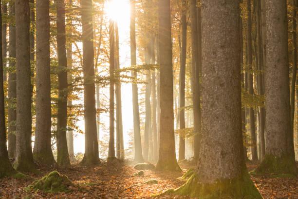 Sonnenstrahlen glänzen durch den Wald im Herbst bei Gegenlicht – Foto