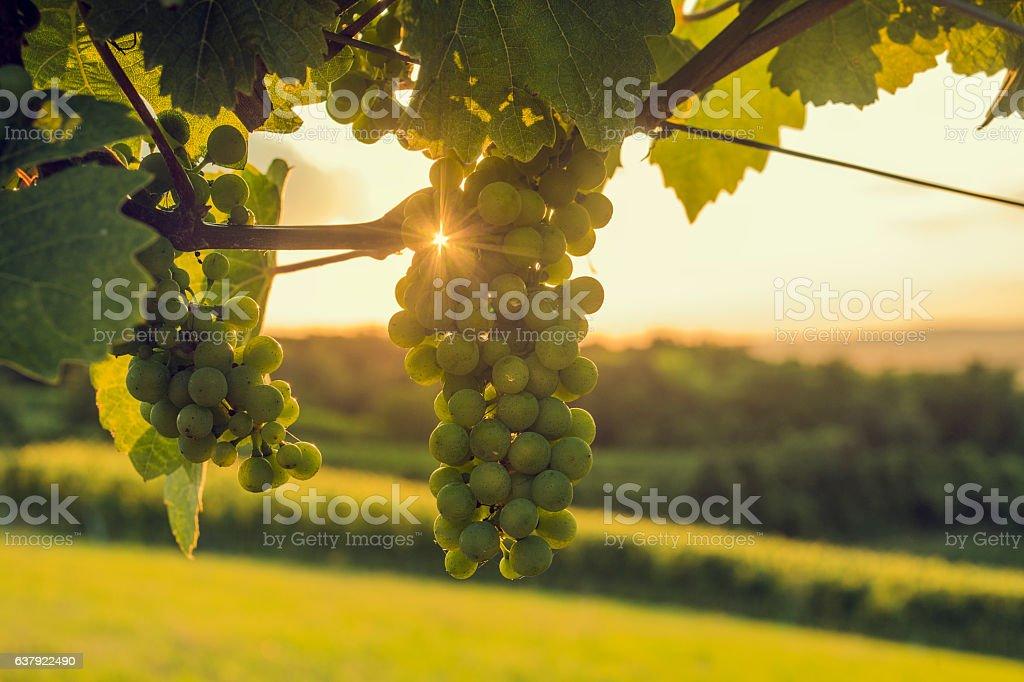 Sunbeams shines through grapes – Foto