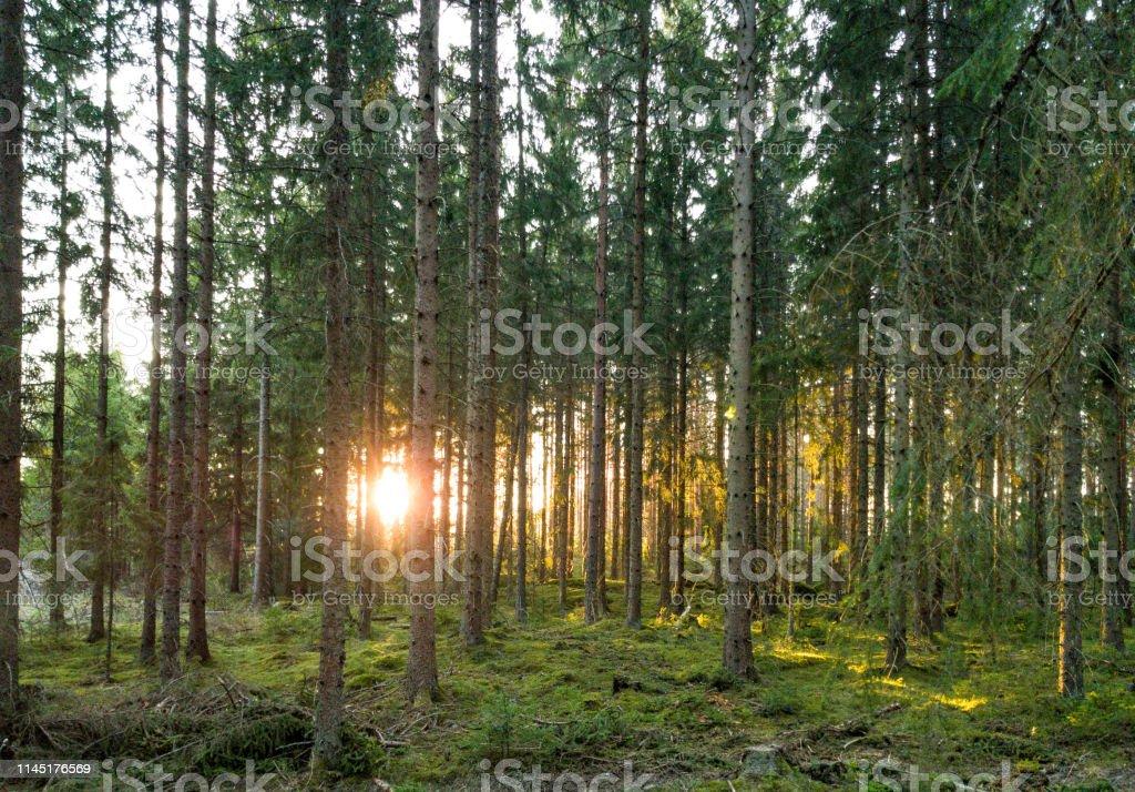 Solstrålar som skiner mellan träd i vacker skog i Sverige - Royaltyfri Bok - Lövfällande träd Bildbanksbilder