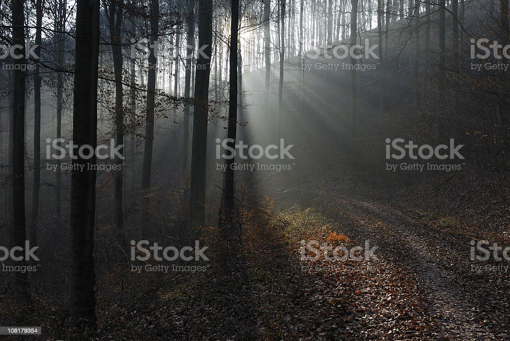 Sunbeams Shining Through Beech Trees in Dark Forest royalty-free stock photo