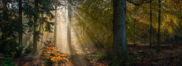 Sunbeams shining through idyllic golden woodland glade forest panorama stock photo