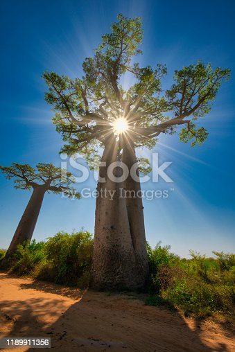 Stong sunbeams are shining through a large African Baobab tree (Adansonia digitata). Concept for enlightenment