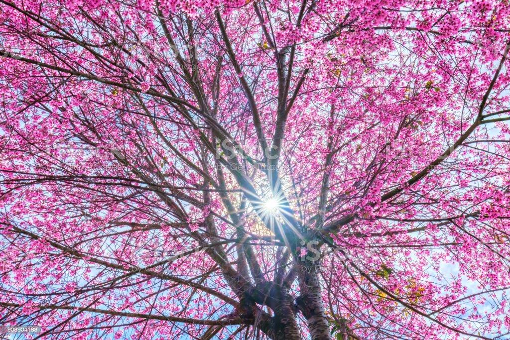 Sonnenstrahlen durch Kirschbäume blühen Aprikose – Foto