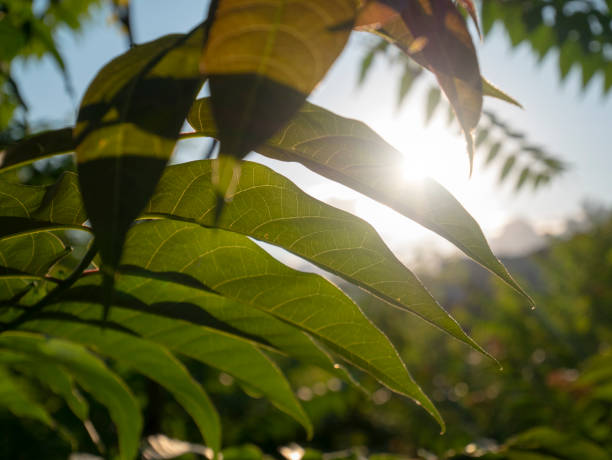 Sunbeams through leaves of a tree. Forest background. stock photo
