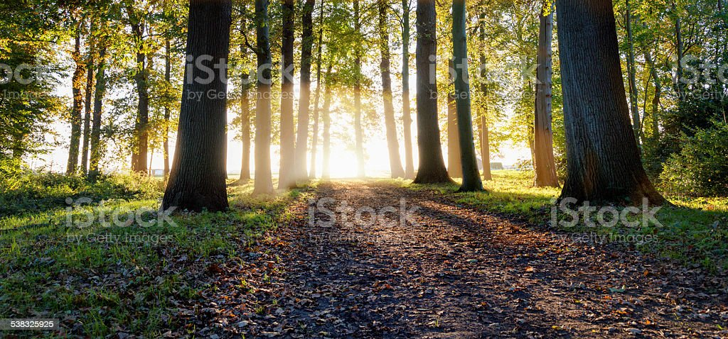 sunbeams through oak trees in forest stock photo
