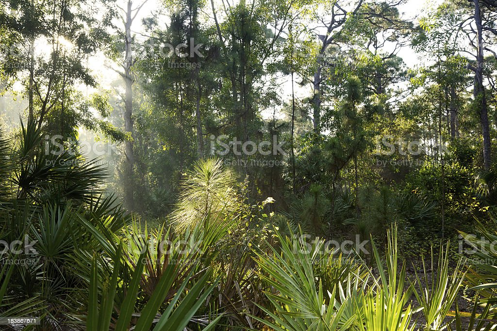Sunbeams Through Swampy Forest stock photo