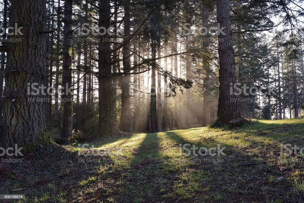 sunbeams through trees stock photo