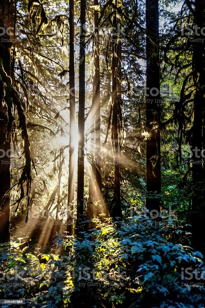 Sunbeams through trees. stock photo