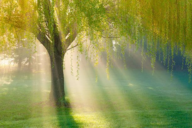 Sunbeams Through Willow Tree in Morning Fog stock photo