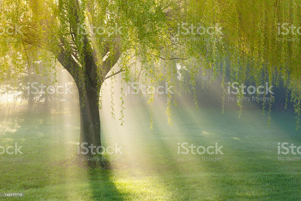 Sunbeams Through Willow Tree in Morning Fog stock photo