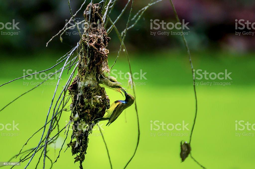 Sunbird feeding birds stock photo