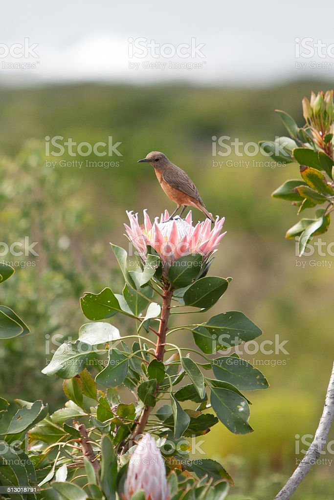 Sunbird feeding on a large king protea stock photo
