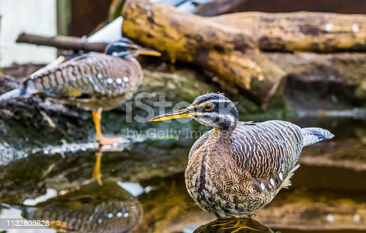 Sunbittern bird standing in the water, tropical birds from the amazon basin of America