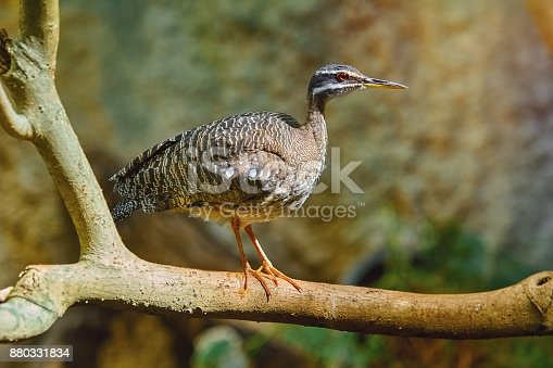 Sunbittern (Eurypyga Helias) Perched on the Bough
