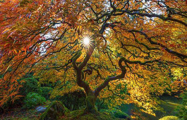 sunbursat through the maple tree - japanischer garten stock-fotos und bilder