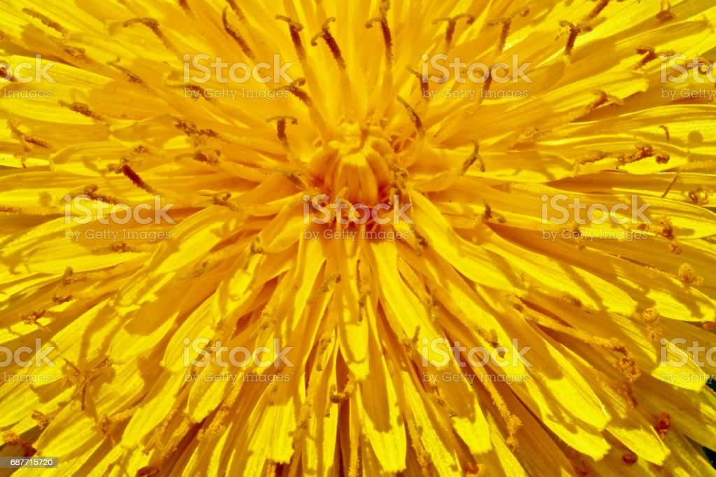 Sunburst Dandelion stock photo