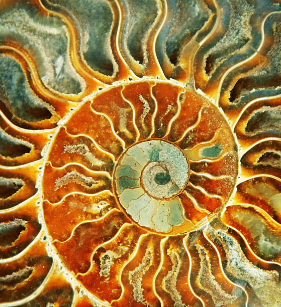 sunburst fossil shell - nautilus stock pictures, royalty-free photos & images