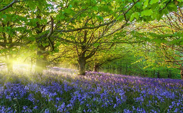 Sunburst through trees illuminating bluebells Sunlight through trees illuminating bluebells bluebell stock pictures, royalty-free photos & images