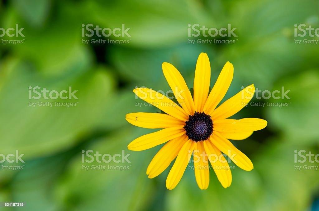 Sunchoke yellow flower stock photo