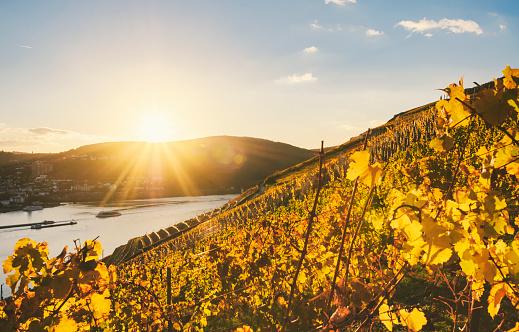 Sundown in an autumnal vineyard beside the Rhine