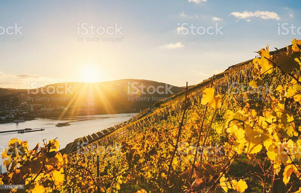 Sundown in an autumnal vineyard beside the Rhine stock photo