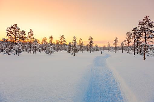 Sundown in winter snowy forest, big pine trees covered snow, empty ski way, beautiful winter weather