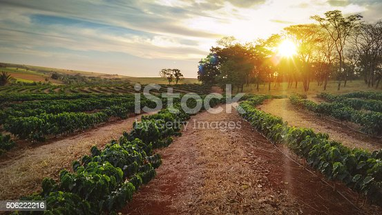 1135319558 istock photo Sundown on the coffee plantation landscape 506222216