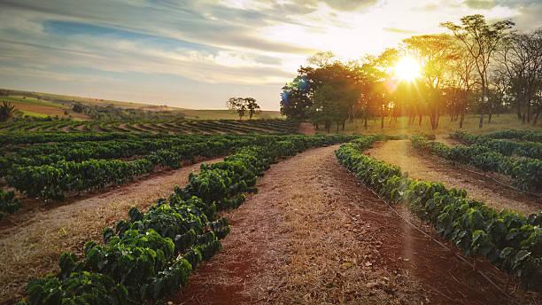 sonnenuntergang auf der kaffeeplantage landschaft - plantage stock-fotos und bilder