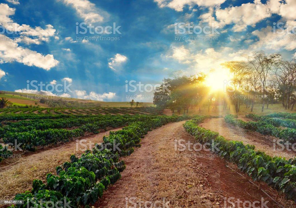Sundown on the coffee plantation landscape royalty-free stock photo