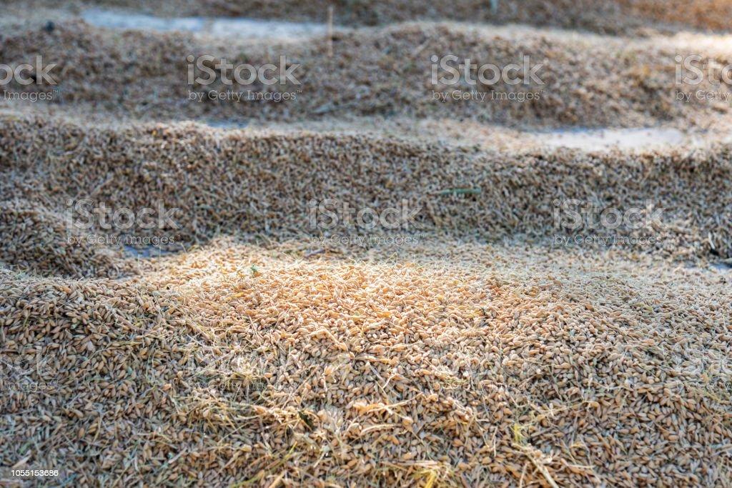 Sun-dried rice in the sun stock photo