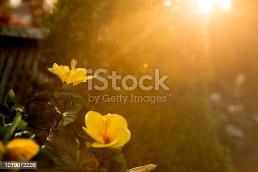Cascading sun at dusk illuminating yellow Hibiscus flowers in beautiful lush garden.
