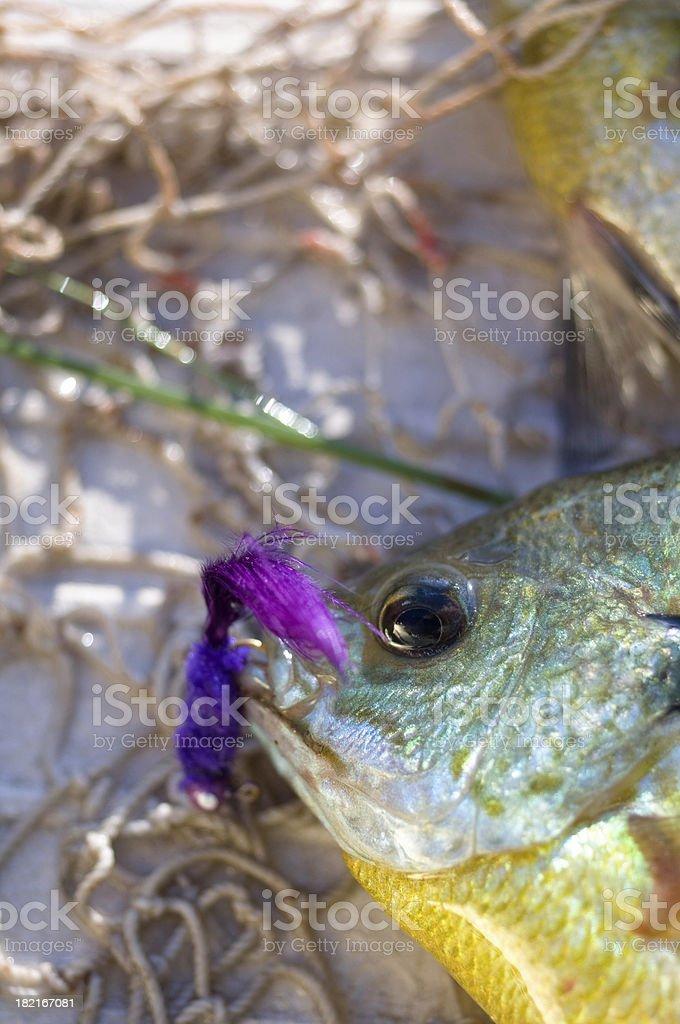 sunfish and purple jig royalty-free stock photo
