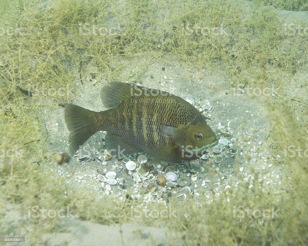 Sunfish guarding bream bed stock photo