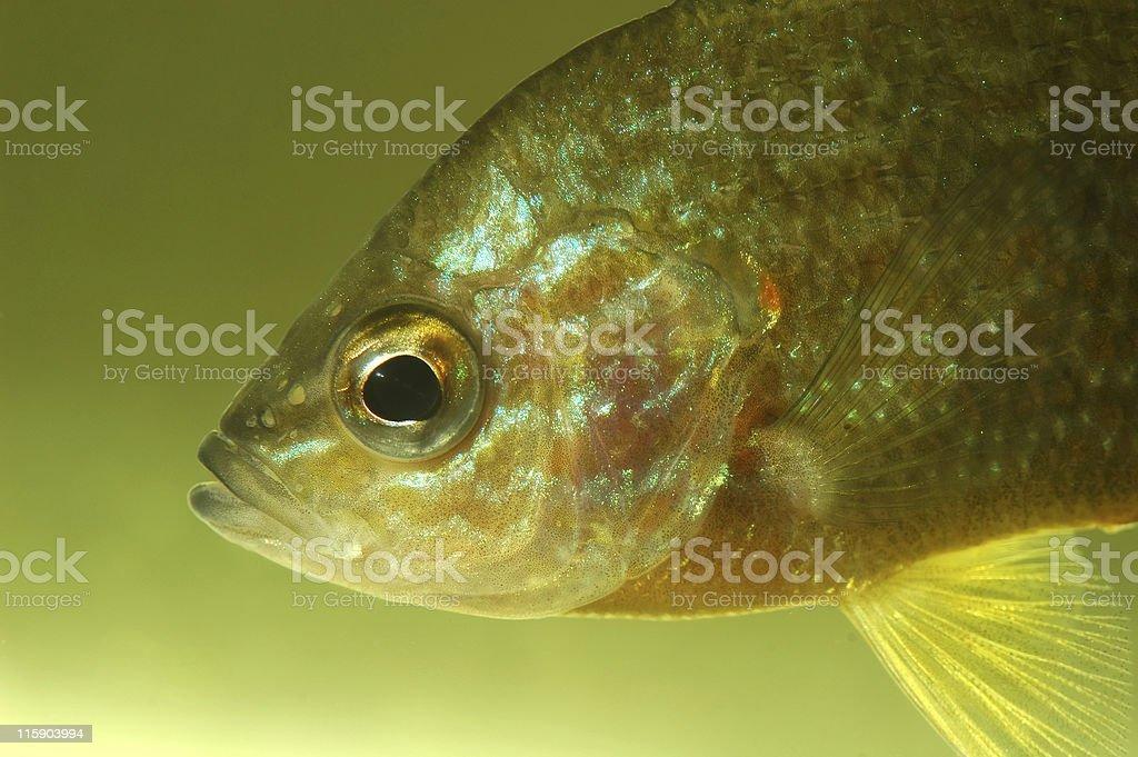 Sunfish in aquarium royalty-free stock photo