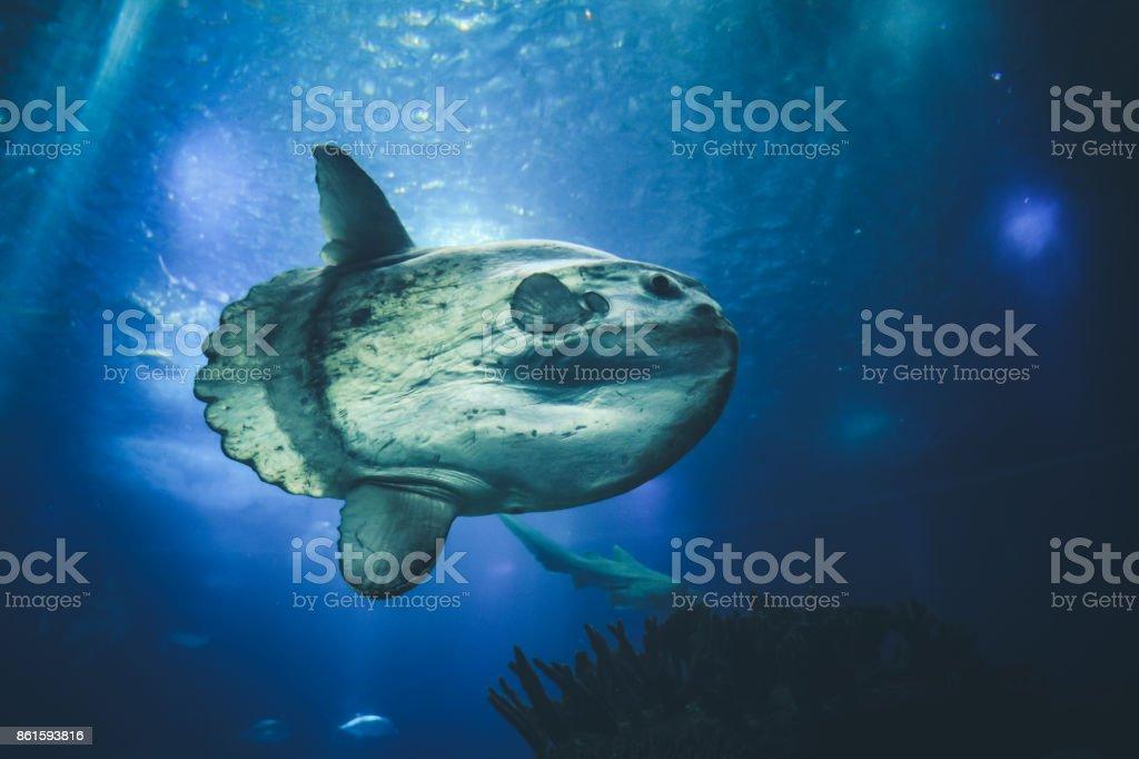 sunfish moonfish swimms in blue ocean water stock photo