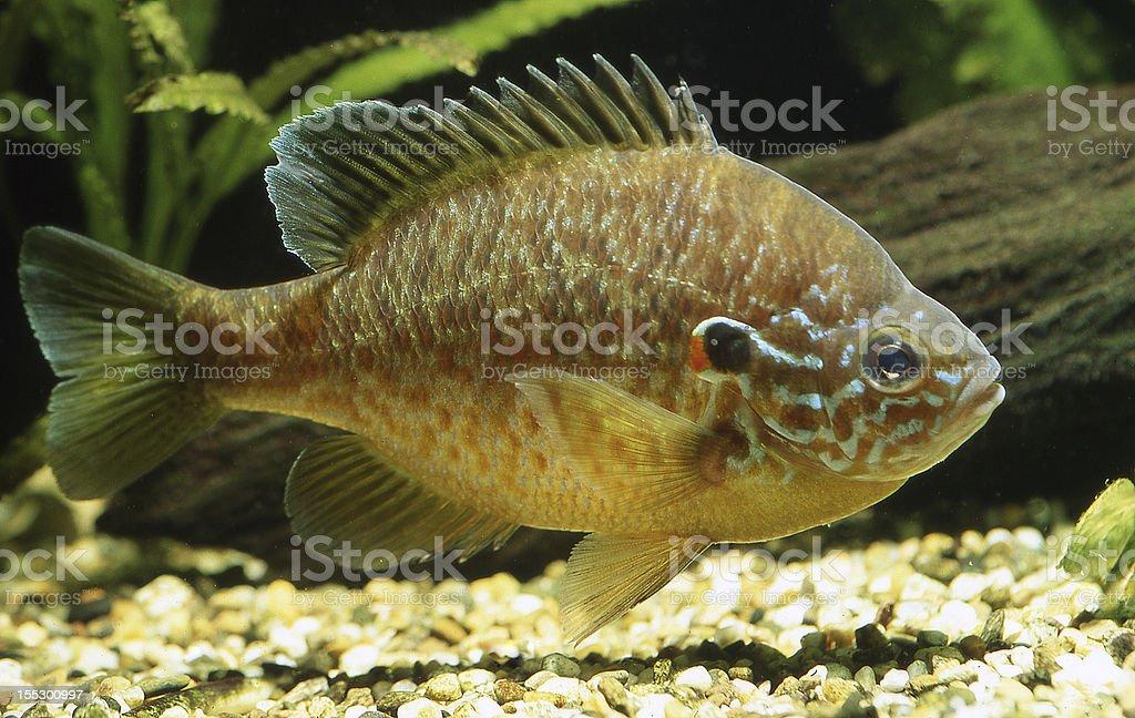 Sunfish (Lepomis gibbosus) stock photo