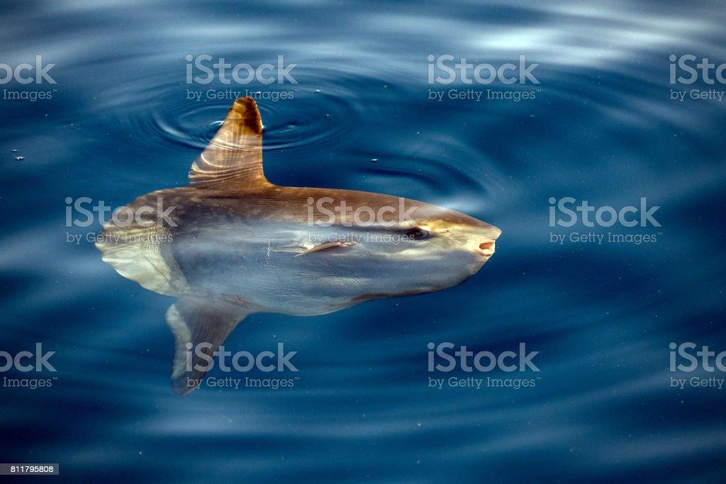Sunfish underwater while eating jellyfish stock photo
