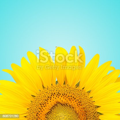 Macro shot of sunflower with blue pastel background.