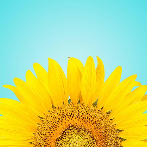 sunflowe - sommerblumen stock-fotos und bilder