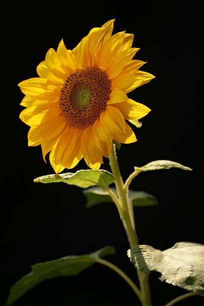 Sonnenblume 01 – Foto