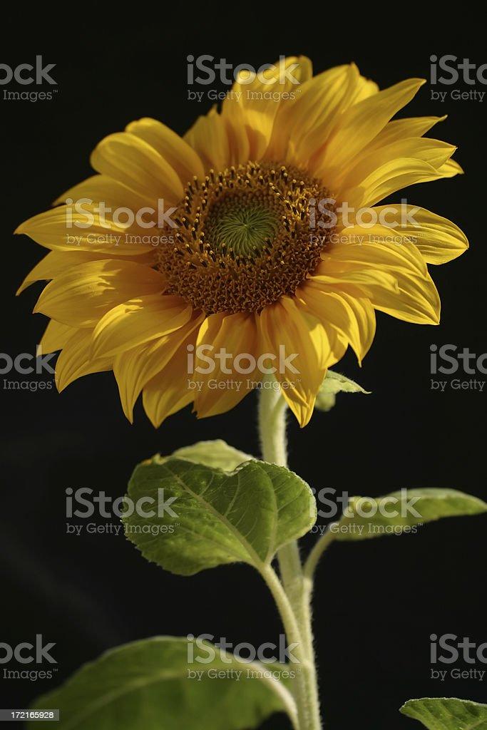 Sonnenblume 02 – Foto