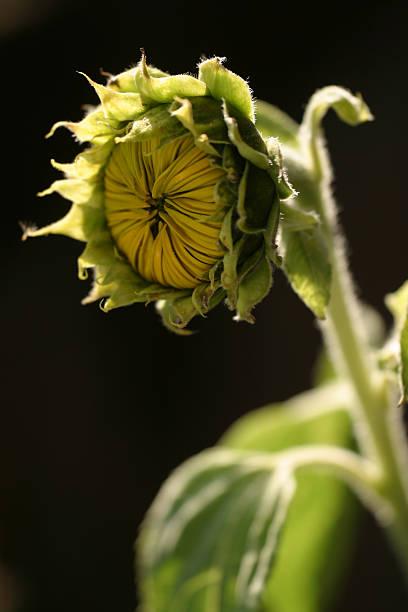 Sonnenblume 03 – Foto