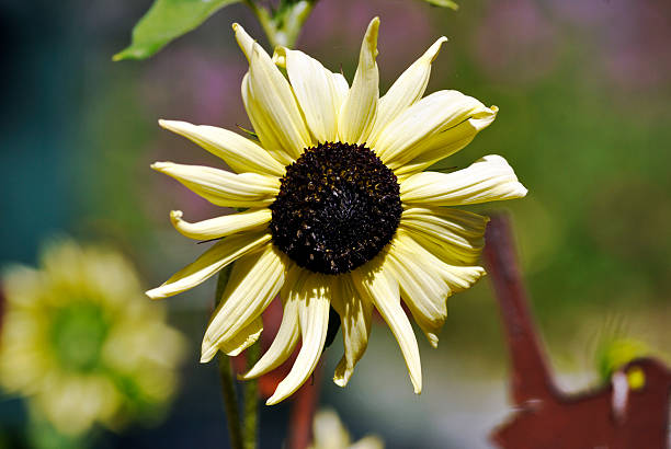 Sunflower 1 Sunflower in the sunshine neilliebert stock pictures, royalty-free photos & images