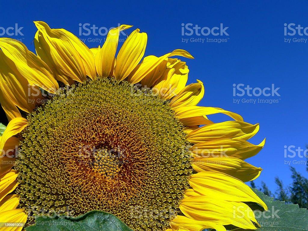 Sunflower 4 royalty-free stock photo